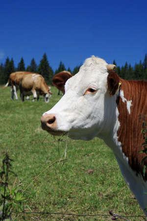 Czech Republic - Bohemian Forest - cattle out at grass photo