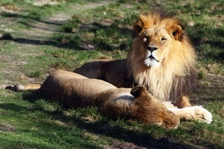 lion and lioness recumbent side by side photo