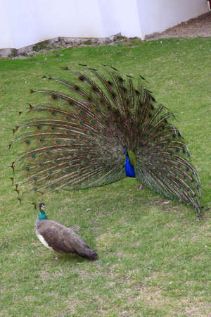 plumage:  peacock with outstretched plumage with shows near peahen