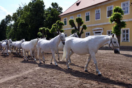 return to stable white horses and foals from grassland Stock Photo