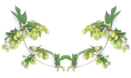 hop-plant on white background Stock Photo - 6337488