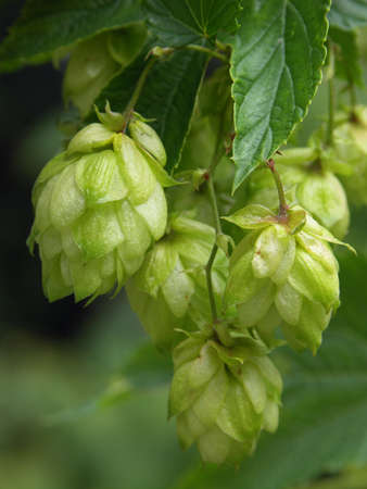 plant medicine: hop-plant - raw material for production beer