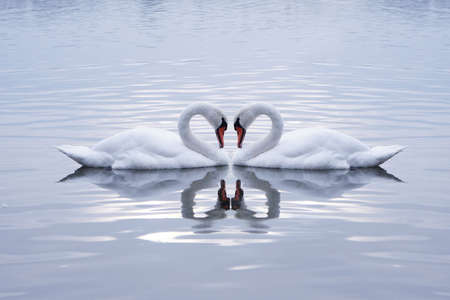 birds of paradise: Swans Heart in the Calm Morning Lake Stock Photo