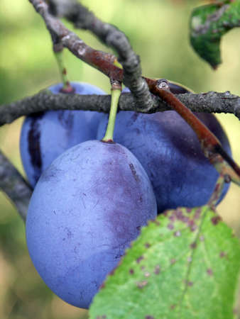 blue plums on the tree photo