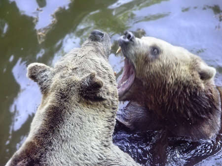 battling: struggle two bears in water Stock Photo