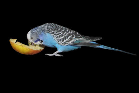 parakeet: blue budgie with apple - small home pet - isolated on black background