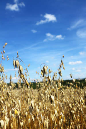 close-up ripe oats with blue sky and clouds Stock Photo - 7855315