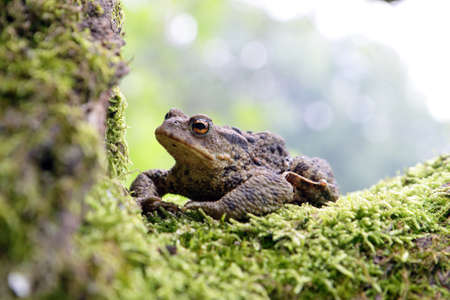 common hop: Close-up frog toad (Bufo bufo) Stock Photo
