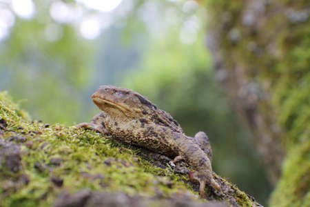 Close-up frog toad (Bufo bufo) with shut an eye photo