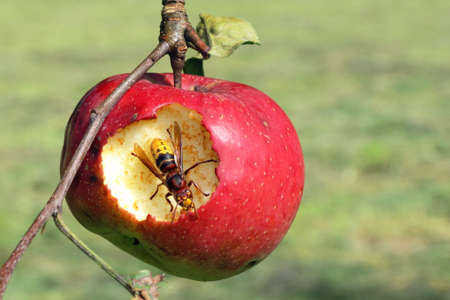 hornet eat apple - farming evil-doer Reklamní fotografie