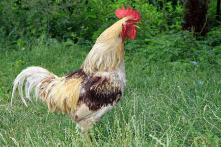 domestic crowing cock on green grass Stock Photo - 8367365