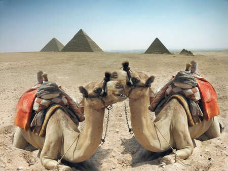 Two camels in the sand desert near pyramid in the Egypt - Cairo - Giza