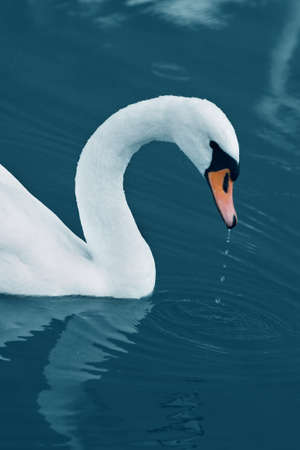 Swan with drops in the Calm Morning Lake  photo
