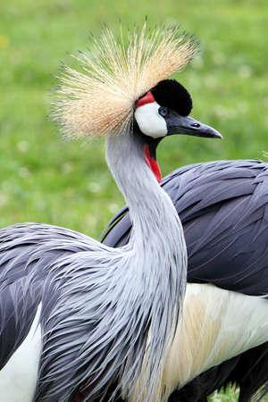 Grey Crowned Crane - birds in ZOO photo