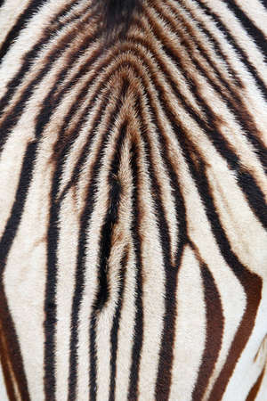 close-up head zebra photo