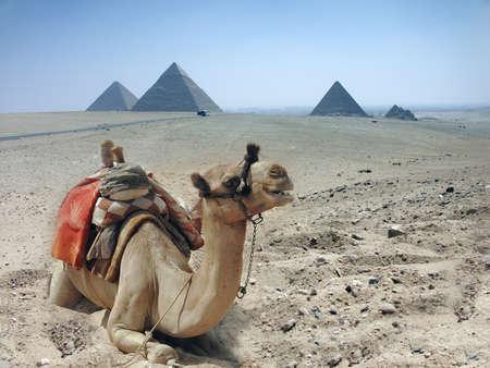 Three camel caravan going through the sand desert near pyramid in the Egypt - Cairo - Giza Stock Photo