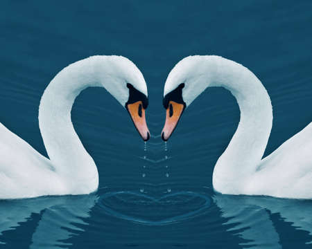 Two swans with drops in the Calm Morning Lake - Valentine image with heart