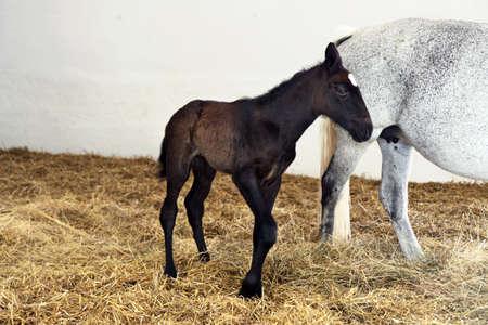 csikó: brown foal standing near whites mare Stock fotó