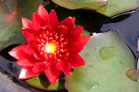 red lotus blooming in the tropical garden photo
