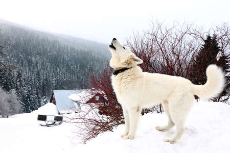 one white howling dog on mountains in winter Stock Photo