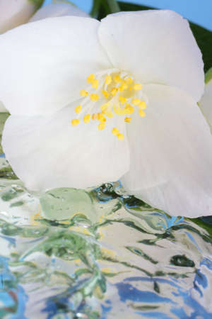 Spring flowers - white flower jasmine with reflection in the water photo