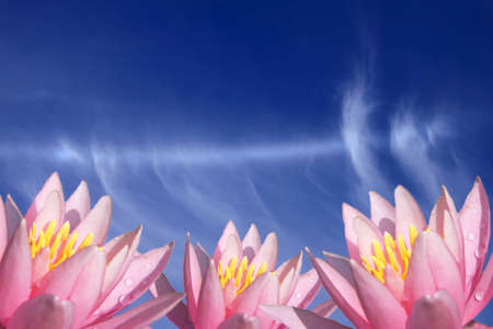 pink water lily flower with blue sky photo