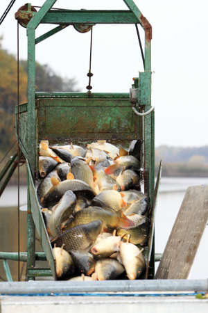 fish breeding: Autumn harvest of carps from fishpond to christmas markets in Czech republic. In Central Europe fish is a traditional part of a Christmas Eve dinner. Stock Photo