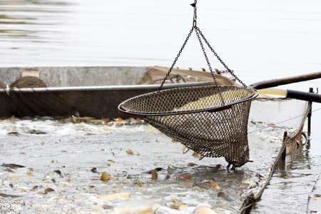 fischerei: Herbst Ernte von Karpfen aus Fischteich zu Weihnachtsmärkten in der Tschechischen Republik. In Mitteleuropa Fisch ist ein traditioneller Bestandteil eines Weihnachtsessen. Lizenzfreie Bilder