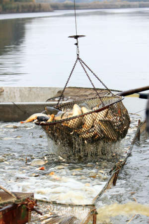 Autumn harvest of carps from fishpond to christmas markets in Czech republic. In Central Europe fish is a traditional part of a Christmas Eve dinner. Foto de archivo
