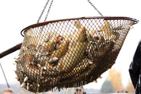 Autumn harvest of carps from fishpond to christmas markets in Czech republic.