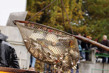 central europe: Autumn harvest of carps from fishpond to christmas markets in Czech republic. In Central Europe fish is a traditional part of a Christmas Eve dinner. Stock Photo
