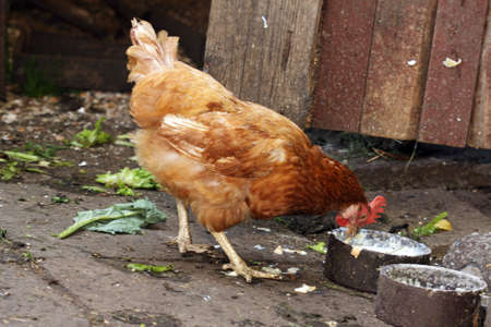 dom�stico marr�n henwith alimentos de origen animal en gallinero photo