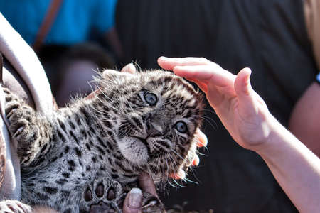 baptism young leopard cub in ZOO - detail with hand and cub leopard photo