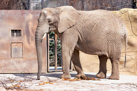 dry skin: elephant in ZOO with dry branches