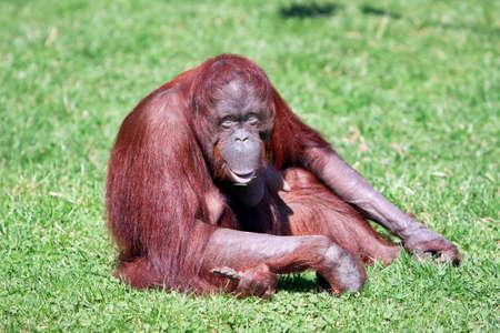 orang: orang-utan with smile in ZOO