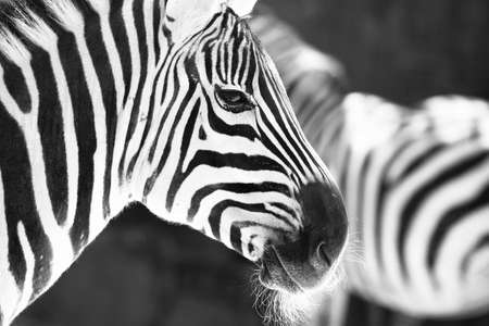 monochrome photo  - detail head zebra in ZOO photo