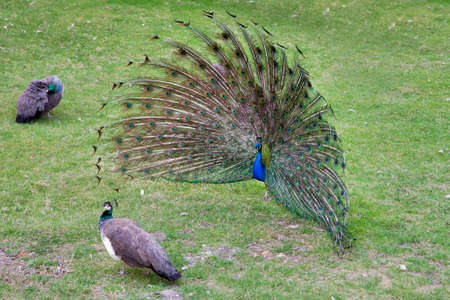 phasianidae: peacock with outstretched plumage with shows near peahen