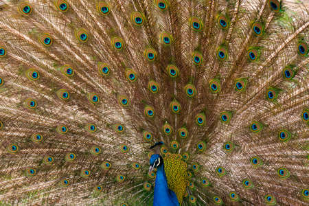 phasianidae: peacock with outstretched plumage Stock Photo