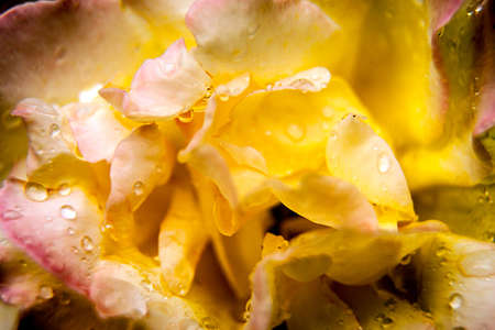 abstract background - yellow rose with water drops photo