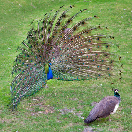 fanned: peacock with outstretched plumage with shows near peahen