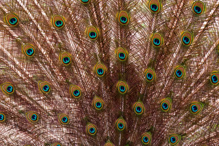 mating colors: detail plumage peacock - animal abstract photo