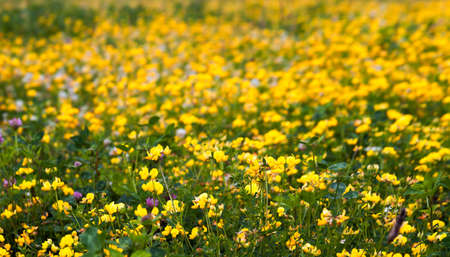 Detail of Yellow Flowers on Meadow with Clover photo
