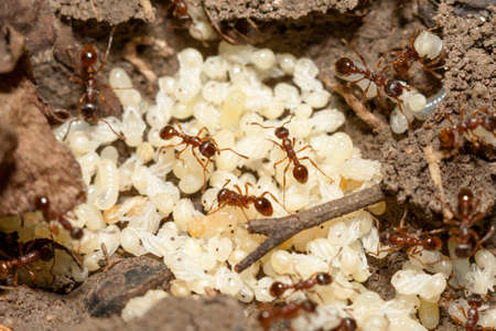 reproduction animal: Red ants with white eggs on anthill Stock Photo