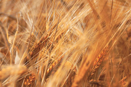 Wheat - Dream Image with Ripe Wheat Stock Photo - 27515509