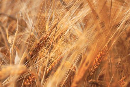 Wheat - Dream Image with Ripe Wheat photo