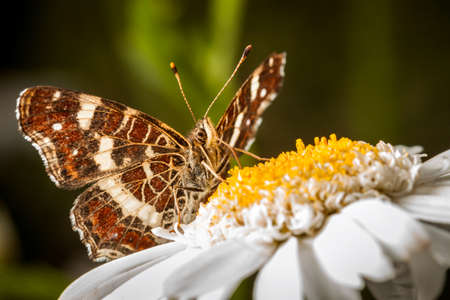 Brown Butterfly on a Marguerite - Great Banded Grayling (Brintesia circe)