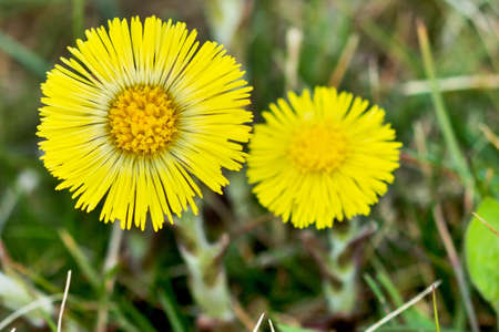Coltsfoot Medical First Flower on Spring - Latin Name Tussilago Farfara photo
