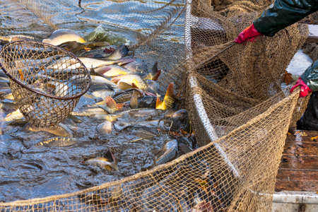 Autumn harvest of carps from fishpond to christmas markets in Czech republic. In Central Europe fish is a traditional part of a Christmas Eve dinner. Stock Photo