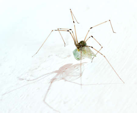 daddy long legs: long legs spider with may fly on a white background