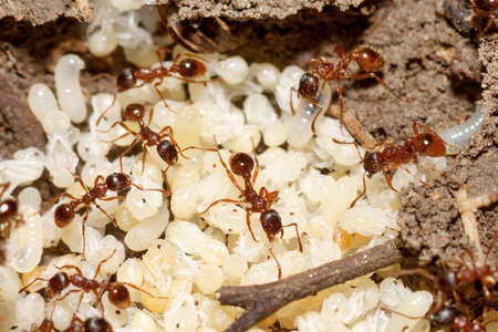 Red ants with white eggs on anthill Stock Photo